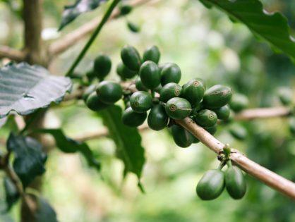 Zapomniany gatunek kawy z ogromnym potencjałem uprawnym